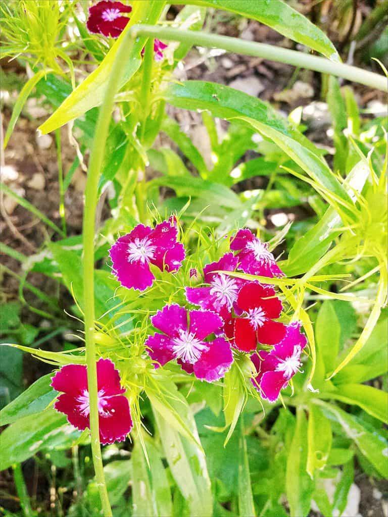 I Have Garden Fever - Dianthus