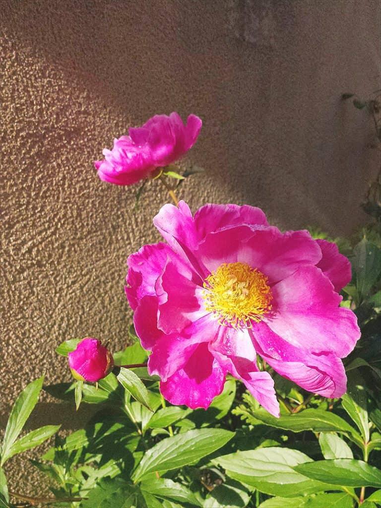I Have Garden Fever - Peonies