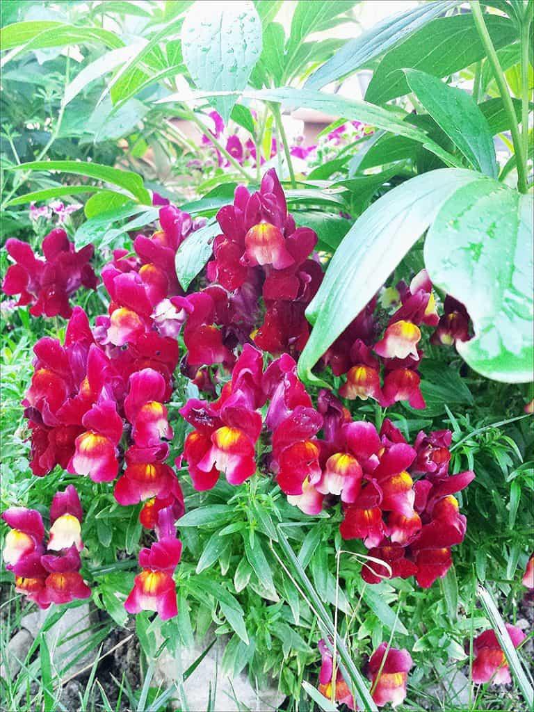 I Have Garden Fever - Snapdragons